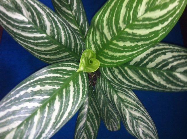 アグラオネマ・カーティシーの葉の模様